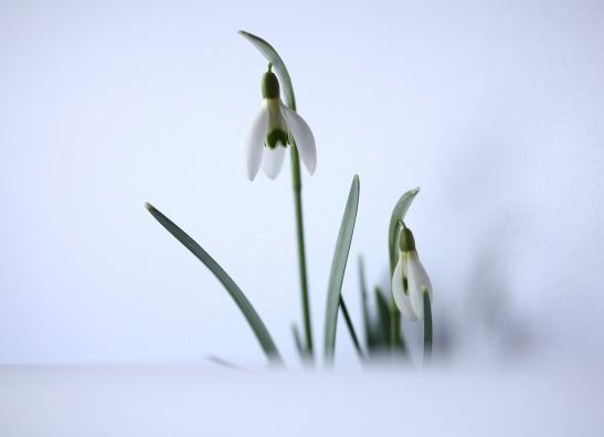 snowdrop-637029_1920