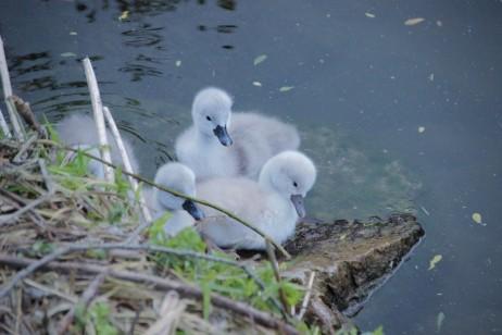swan-chicks-2357844_1920 (1)