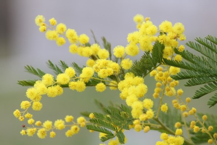 mimosa-2970960_1920